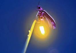 firefly-banner thumb copy.jpg